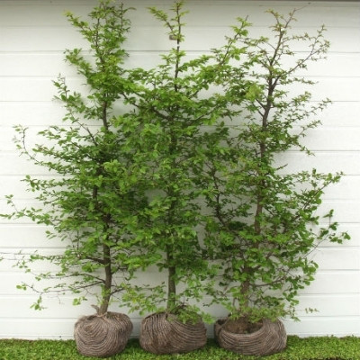 Carpinus betulus - Færdighæk - højde: 150 cm. - Avnbøg
