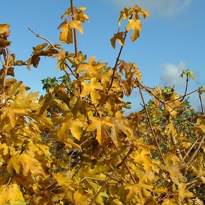 Acer campestre - Færdighæk - højde: 220 cm. - Naur