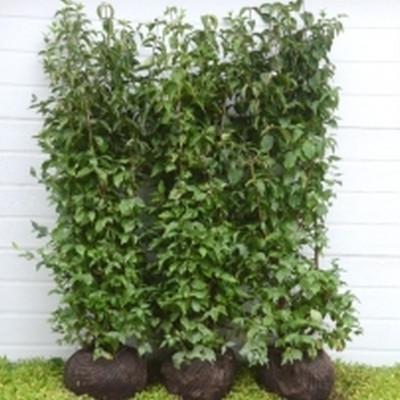 Cornus mas - Færdighæk - højde 125 cm. - Kirsebær Kornel
