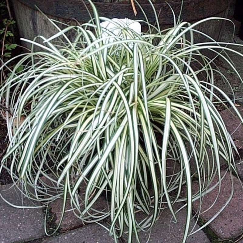 CAREX oshimensis 'Evergold' (Star)