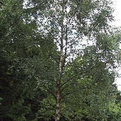Betula  pendula (verrucosa) (Vortebirk) Salgsh.: 40-60 cm.  (Barrodet bdt m/25 stk)