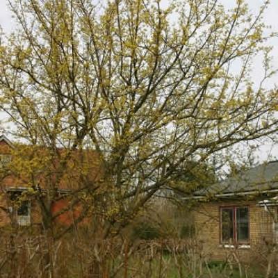 Cornus mas ( Kirsebærkornel) Salgshøjde: 30-50 cm. (Barrodet bundt m/25 stk)