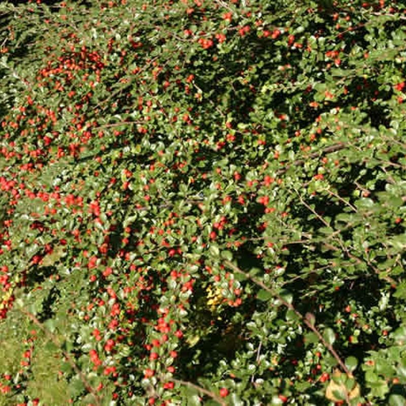 Cotoneaster dielsianus (Kinesisk Dværgmispel) Salgsh: 30-50 cm. (Barrodet bdt m/25 stk)