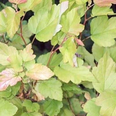 Physocarpus opulifolius 'Darts Gold' - Salgshøjde: 30-50 cm. - Blærespiræa