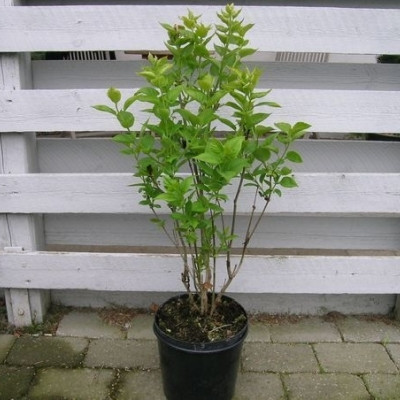 Syringa vulgaris 'Charles Joly' - Salgshøjde: 40-60 cm. - Syren