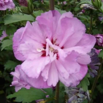 Hibiscus syriacus 'Ardens' - Salgshøjde: 30-40 cm. - Syrisk Rose
