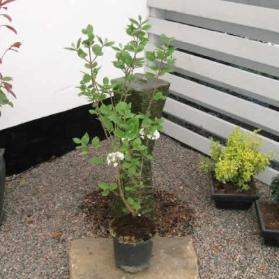 Viburnum burkwoodii 'Anne Russell' - Salgshøjde: 30-50 cm. - Duftsnebolle