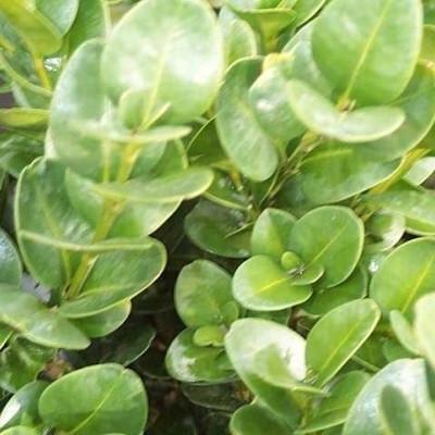 Buxus sempervirens 'Rotundifolia' - Salgshøjde: 30-40 cm. - Buksbom