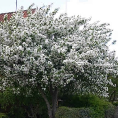 Malus baccata 'Braendkjaer' - Salgsstr.:   130-175 cm. - Paradisæble