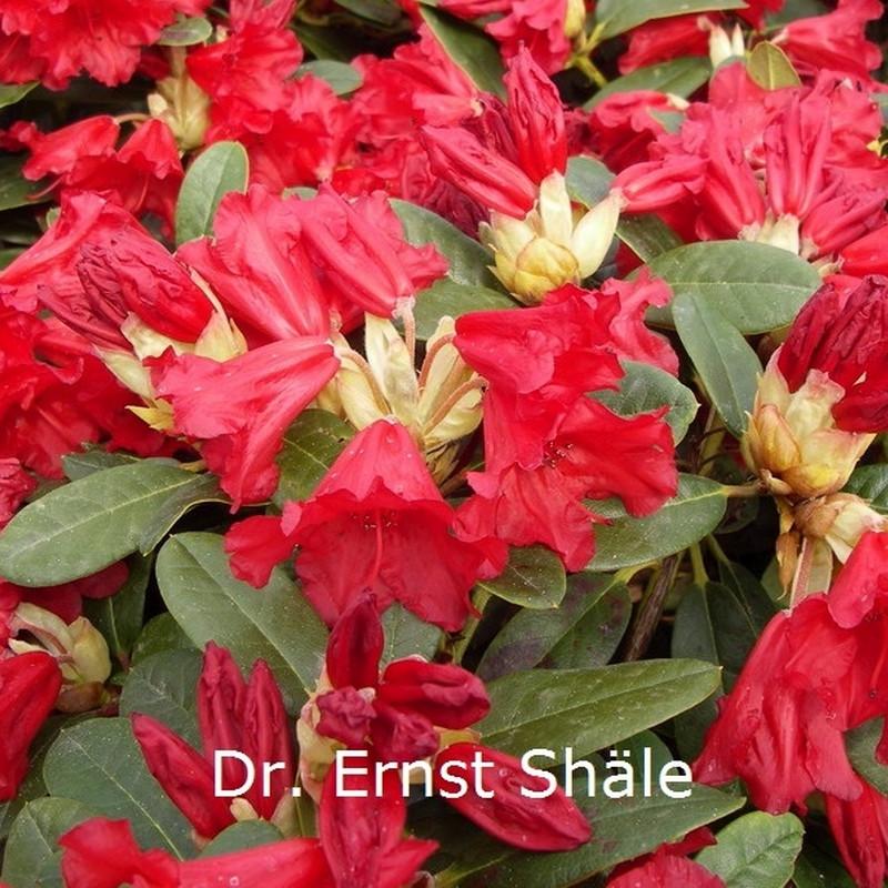 Rhododendron repens 'Dr. Ernest Shäle'  - Salgshøjde: 20-25 cm.