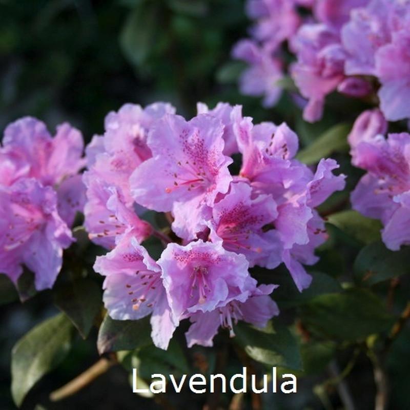 Rhododendron rubiginosum 'Lavendula' (Småblomstrende) - Salgshøjde: 20-30 cm.