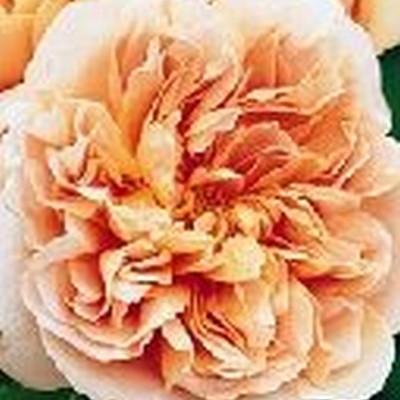 Rose Tea Clipper (engelsk rose)  , barrodet