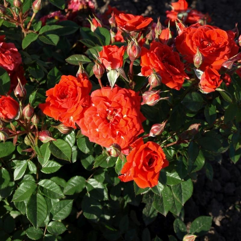Rose 'Absolute Hit' (buketrose - Patiohit - miniaturerose) barrodet