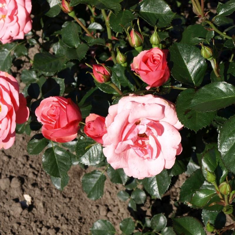 Rose 'Egeskov' (buketrose) barrodet
