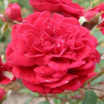 Rose 'Attractive Cover' (bunddækkerose) barrodet