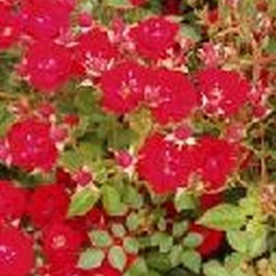 Rose Intense Cover (bunddækkerose) , barrodet