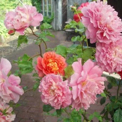 Rose Christopher Marlowe (engelsk rose) , barrodet