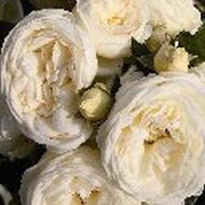 Rose 'Artemis' (buketrose) barrodet