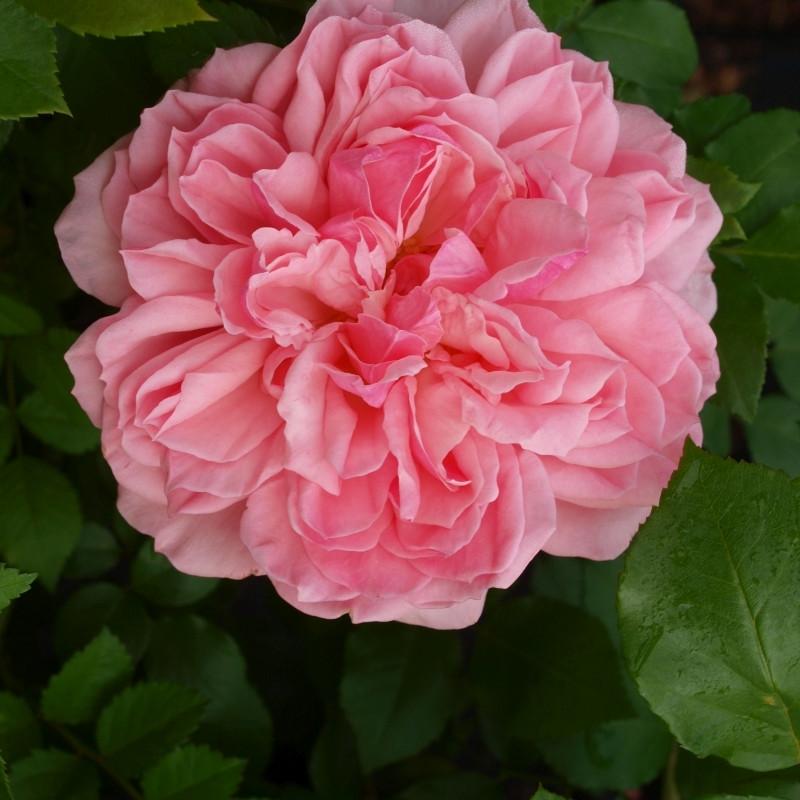 Rose 'Elysée' (buketrose) barrodet