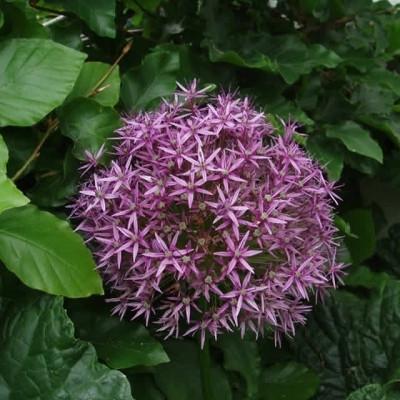 ALLIUM aflatunense 'Purple Sensation' (Prydløg)