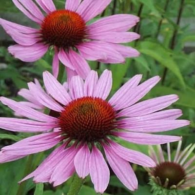 ECHINACEA purpurea 'Magnus' (Purpursolhat)