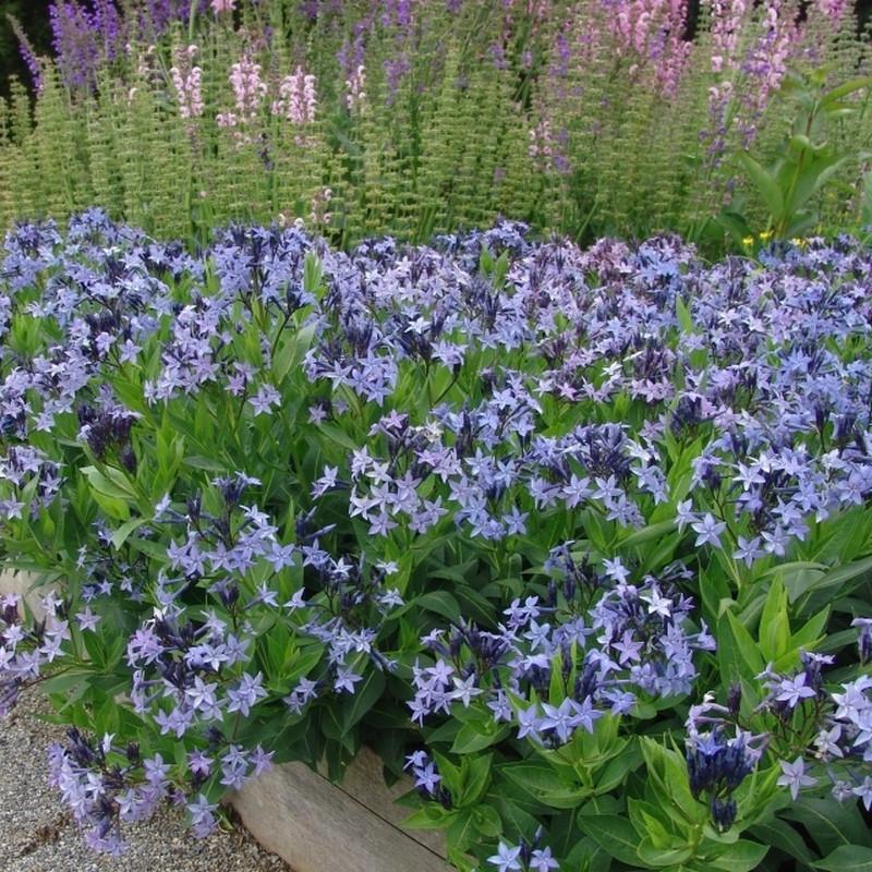 AMSONIA angustifolia 'Blue Ice' (Blåstjerne)
