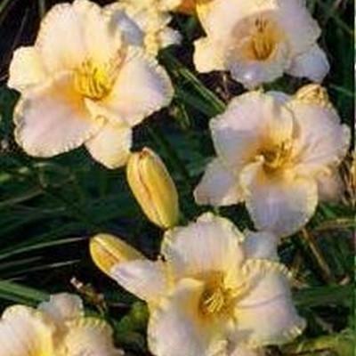 HEMEROCALLIS hybrid 'Serena Sunburst' (Daglilje)