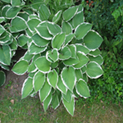 HOSTA hybrid 'Francee' (Funkia)