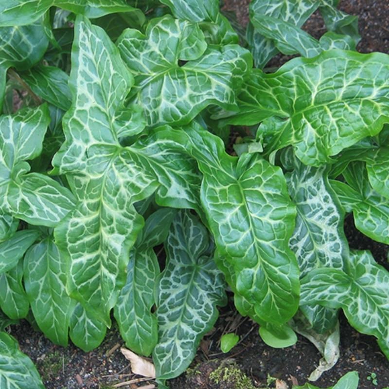 ARUM italicum (Italiensk Arum)