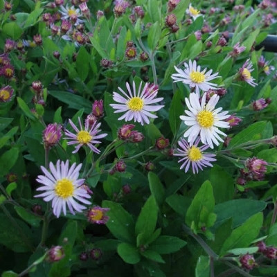 ASTER ageratoides 'Asran' (Asters)