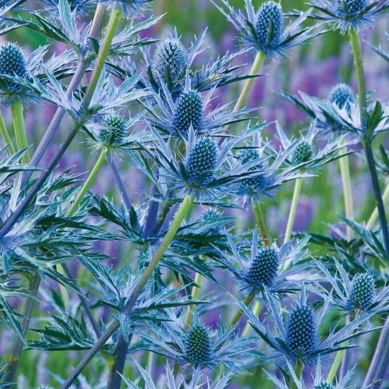 ERYNGIUM zabellii 'Big Blue'® (Alpemandstro)
