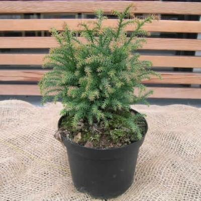 Cryptomeria japonica 'Vilmoriniana Gold' - salgshøjde.: 30-40 cm.  - Kryptomeria