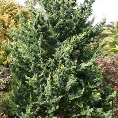 Chamaecyparis lawsoniana 'Wisselii' - salgshøjde.: 20-25 cm. - Cypres
