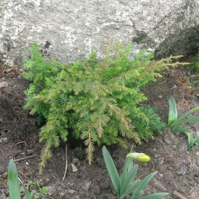 Juniperus conferta 'Schlager' - salgshøjde.: 20-30 cm. - Enebær