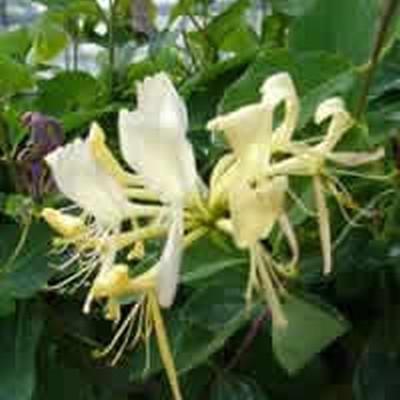 Lonicera caprifolium (Kaprifolie) salgshøjde 20-50 cm