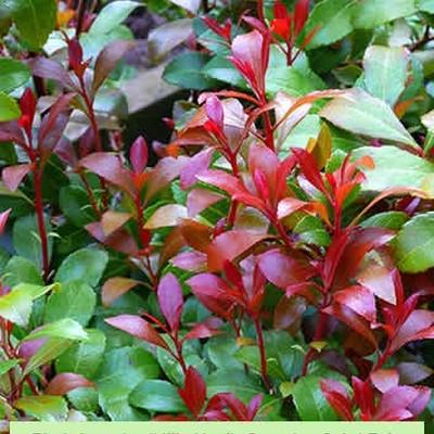 Pieris japonica 'Little Heath Green' Salgsh. 5-10 cm. (GS)- Pieris