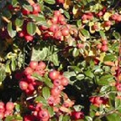 Cotoneaster d. 'Coral Beauty' - dværgmispel - (5-15 m2) Færdig Bunddække