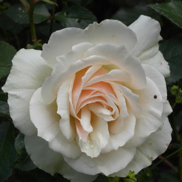 Rose 'Edelweiss' (buketrose) barrodet