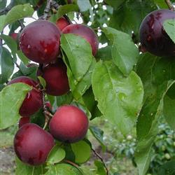 Abrikosblomme 'Aprikyra'®