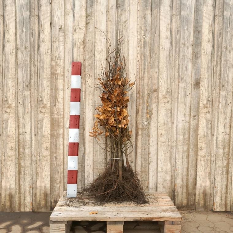 Fagus sylvatica (Bøg) Salgshøjde: 4 års 50-80 cm.  (Barrodet)