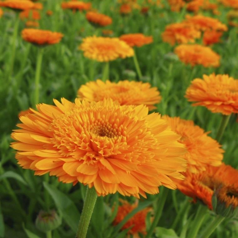 Morgenfrue Mix 'Calundula officinalis' - 1-årig - 1 kg. Pose - Frø