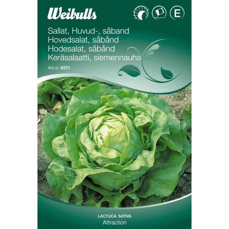 Salat, Hoved - Lactua sativa - Attraction, Såbånd - Frø (W8251)