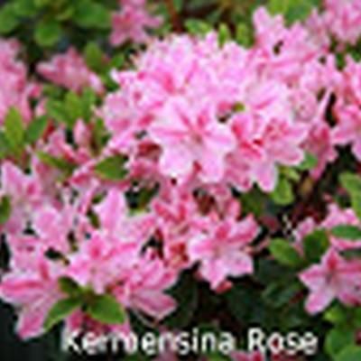 Rhododendron 'Kermesina Rosé' (Japansk azalea) - Salgshøjde: 15-30 cm.