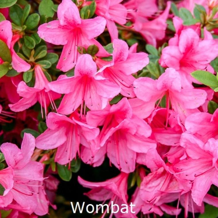 Rhododendron 'Vombat' (Japansk azalea) - salgshøjde 15-30 cm