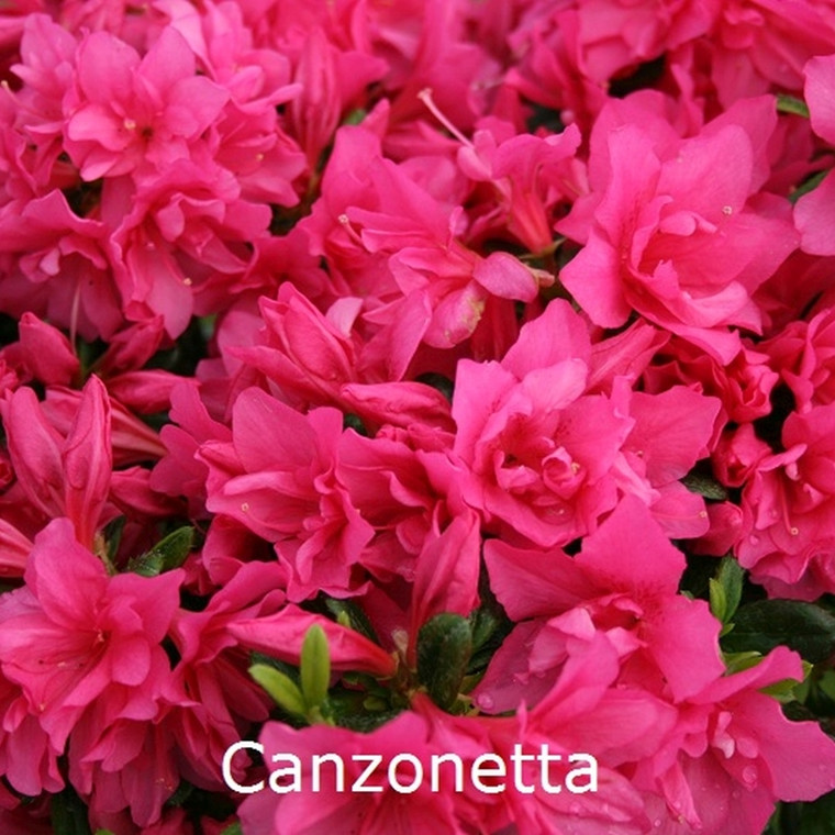 Rhododendron 'Canzonetta' (Japansk azalea) - Salgshøjde: 15-30 cm.