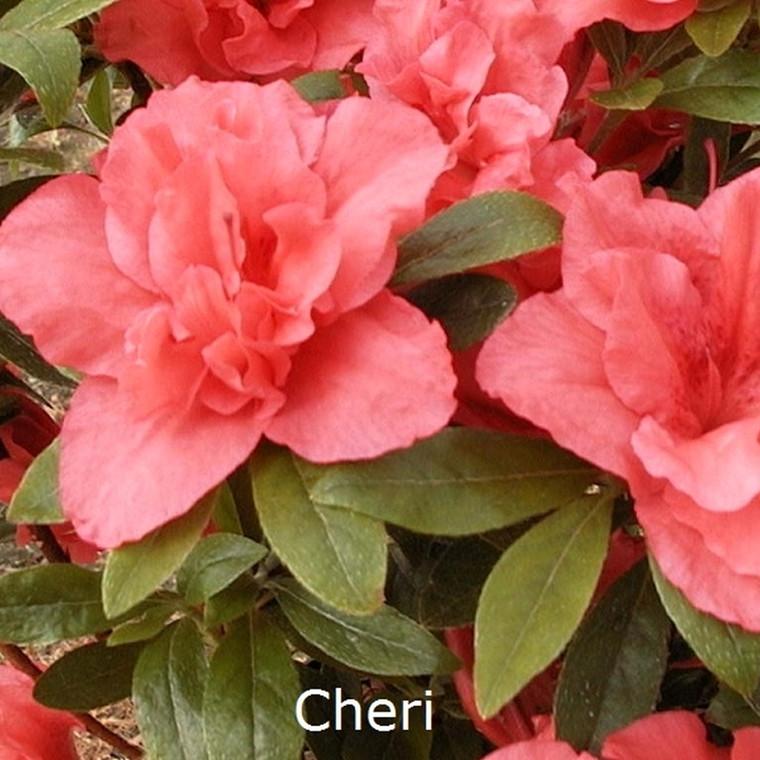 Rhododendron (Japansk azalea) 'Cherie' 20-25 cm.   - Salgshøjde: 15-30 cm.