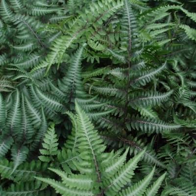 Athyrium niponicum 'Pictum' ('Metallicum') - Flerfarvet Fjerbregne