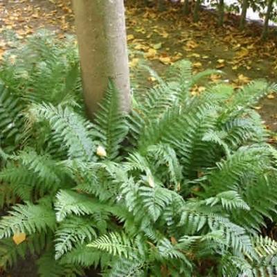 Polystichum aculeatum - Skjoldbregne