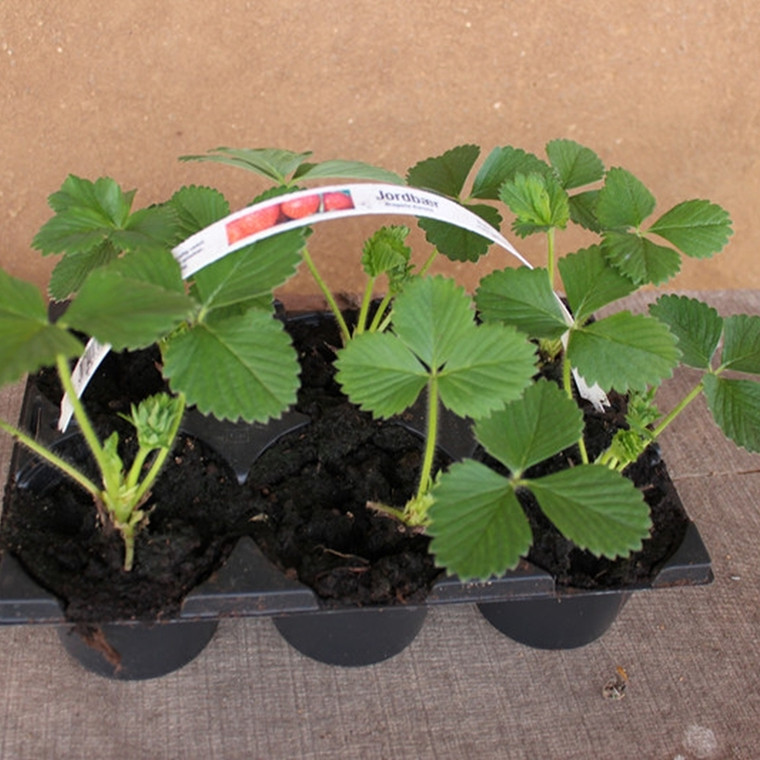 Fragaria × ananassa 'Malvina' (Jordbær) - 5 stk