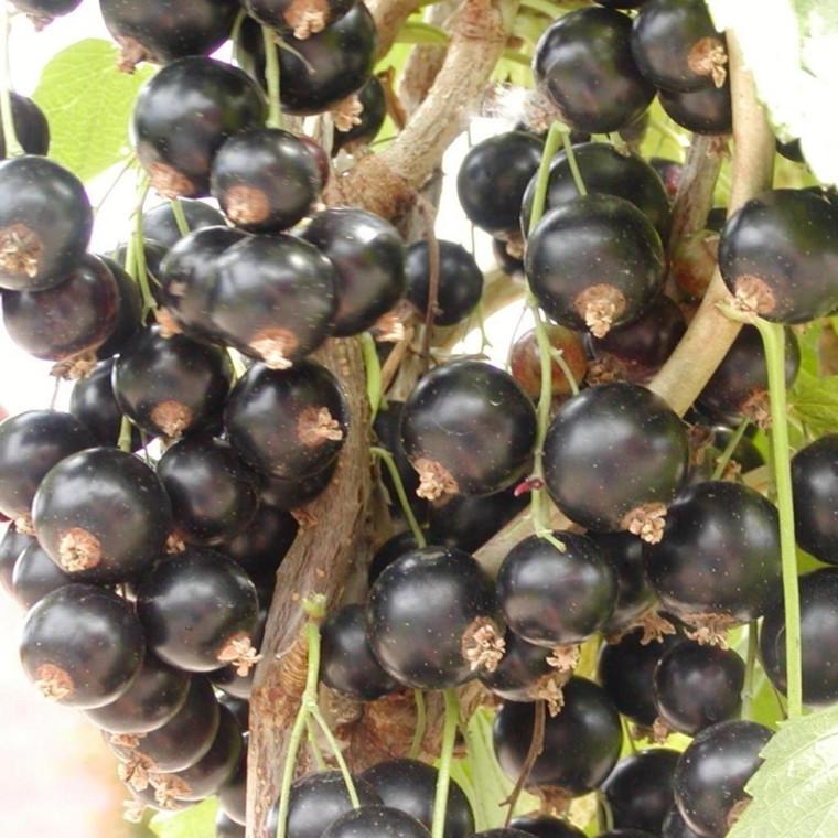Ribes nigrum 'Titania' (Solbær ) Opstammet - Salgshøjde: 80-100 cm.